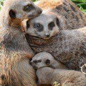 Erdmännchenfamilie auf Kuschelkurs