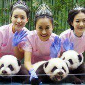 Panda-Drillinge sorgen für Entzücken