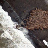 Eisschmelze zwingt  Walrosse an Land