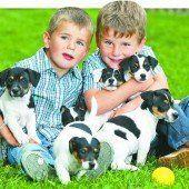 Eine süße Jack-Russel-Bande rechtzeitig zum morgigen Welthundetag