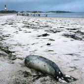 Immer mehr Seehunde sterben an der Nordsee