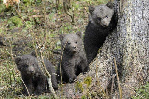 The three baby bears called Ben, Yogy and Zora take a walk at the Juraparc of Mont-d'Orzieres near Vallorbe, Switzerland, Friday, April 20, 2012. Their mother Ursina gave birth to them on an unknown date in Januray 2012. (Foto:Keystone, Laurent Gillieron/AP/dapd)