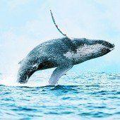 Buckelwale beobachten