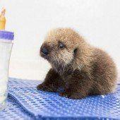 Kleiner Otter wird aufgepäppelt