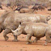 Trauriger Rekord: 1020 Nashörner getötet