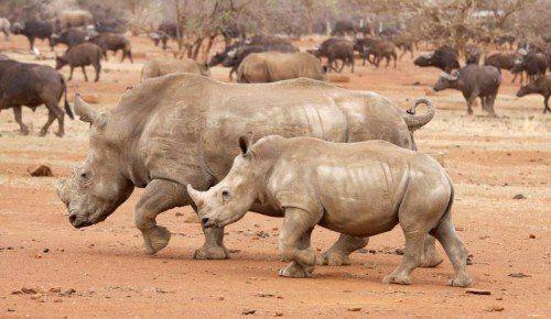 Allein im Krüger Nationalpark wurden 672 Nashörner getötet. Foto: Rts
