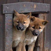 Süßer Dingo-Nachwuchs