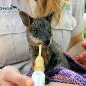 Wallaby erobert die Herzen