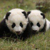Pandazwillinge auf Entdeckungstour