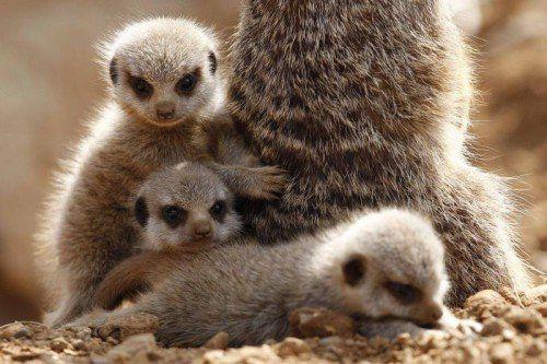 Drei junge Erdmännchen schmiegen sich im Chester Zoo in England an ihre Mutter. Die ersten Lebenswochen verbringen kleine Erdmännchen im schützenden Bau. Erst nach etwa zwei Wochen, werden sie aktiver und verlassen zum ersten Mal die unterirdischen Höhlen mit den übrigen Familienmitgliedern. Natürlich immer gut bewacht von ihrer Mama. Reuters