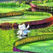 Gigantische Wasserlilien