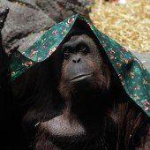 Orang-Utan-Dame darf endlich in die Freiheit