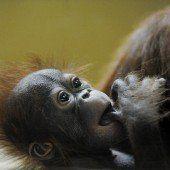 Süßer Orang-Utan-Nachwuchs