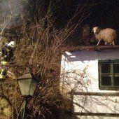 Schaf sitzt auf Hausdach fest