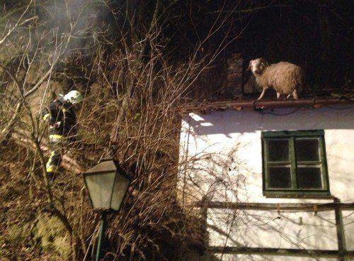 Feuerwehrleute retteten das Schaf.  FOTO: APA/FF LANGENLOIS