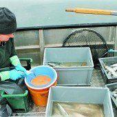 Laichfischen hielt Vorjahresniveau