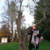 Olivenbaum aus Kalabrien jetzt in Hohenems