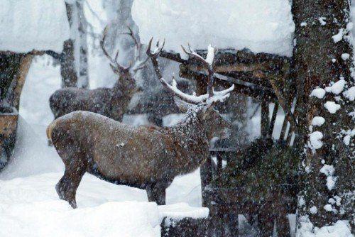 Sorge um die Einstellung der Wildfütterung im Revier Hittisau II. Verbissschäden werden befürchtet Foto: VN/Hofmeister