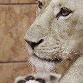 Idylle bei den weißen Löwen