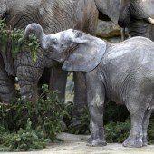 Festschmaus für die Elefanten