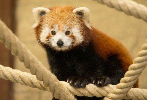 ABD0050_20150130 - Yang heißt der kleine Panda, der am 30.01.2015 im Zoo in Osnabrück (Niedersachsen) vorgestellt wird. Foto: Friso Gentsch/dpa +++(c) dpa - Bildfunk+++
