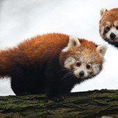 Nachwuchs bei den Kleinen Pandas