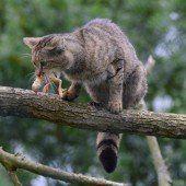 Erstmals Wildkatze in Tirol entdeckt worden