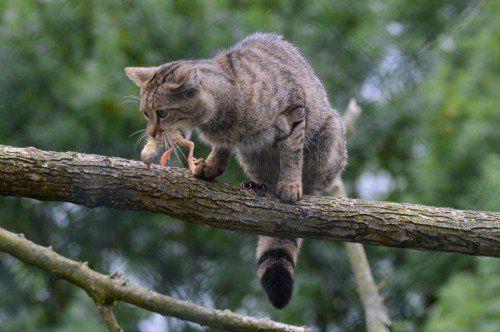 Das Bild dieser Europäischen Wildkatze entstand im Wildkatzendorf Hütscheroda (Thüringen).  Foto: EPA