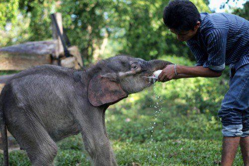 Das Elefantenbaby Raju wurde von Dorfbewohnern allein auf einer Palmölplantage auf Sumatra gefunden. Seine Mutter wurde getötet.  AP