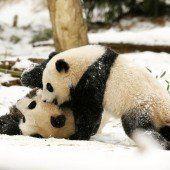 Ausgelassenes Panda-Wrestling