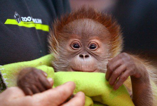 ABD0087_20150206 - Das neu geborene Orang-Utan-Mädchen Rieke scheint am 06.02.2015 im Zoo in Berlin während einer Pressekonferenz zu schlummern. Der Menschenaffe wurde am 12. Januar 2015 geboren und wird von Tierpflegern mit der Flasche aufgezogen. Rieke wiegt zur Zeit 2.290 Gramm. Foto: Ralf Hirschberger/dpa +++(c) dpa - Bildfunk+++