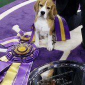 Beagle Miss P ist die Schönste
