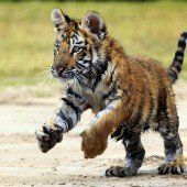 Verspieltes Tigerbaby