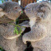 Das ist wahre Koala-Liebe