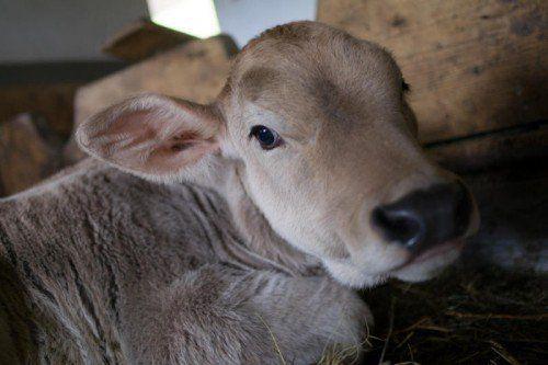 Laut Tierschutzgesetz ist es verboten, einem Tier ungerechtfertigt Schmerzen, Leiden oder Schäden zuzufügen. FOTO: VN/HARTINGER