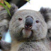 Hunderte Koala- Bären getötet