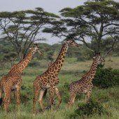 Giraffenknochen als  Medizin gegen Aids