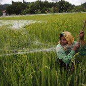 Schutz der Reis-Ernte