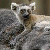 Kleiner Lemur macht Ausflug