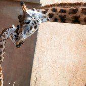 Giraffenbaby auf Kuschelkurs