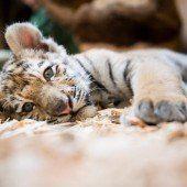 Tigerbaby Alisha zieht um