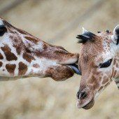Giraffennachwuchs im Zoo Duisburg