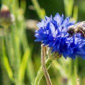 Wer Blumen sät, hilft den Bienen