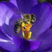 Bienen stehen vor allem auf Pollen und Nektar