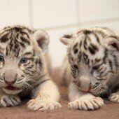 Süßer Tiger-Nachwuchs