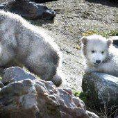 Kleine Eisbären-Zwillinge machen ihren ersten Ausflug