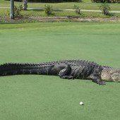 Alligator macht es sich auf Golfplatz gemütlich