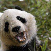 Panda biss Mann ins Bein