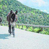 Typisch für Korsika: Esel