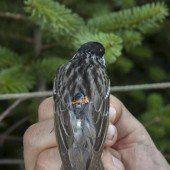 Der kleine Streifenwaldsänger ist ein Langstrecken-Profi